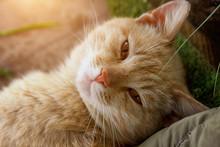 Portrait Of A Cute Red Cat In ...