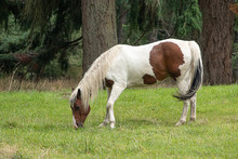 Brown And White Paint Horse Gr...