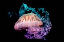 Giant Jellyfish Swimming In Dark Water.