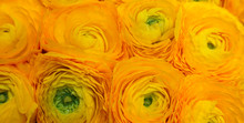 Yellow Ranunculus Flowers (Asi...