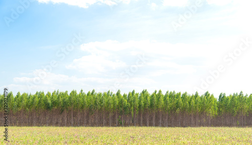 Vászonkép Eucalyptus forest in Thailand, plants for paper industry