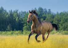 Andalusian Horse In Summer Blo...