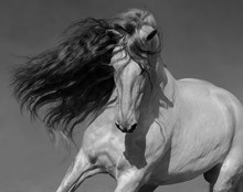 Black-and-white Portrait Of White Spanish Horse With Long Mane.