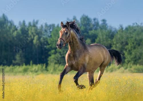 Fototapeta Andalusian horse in summer blooming field.