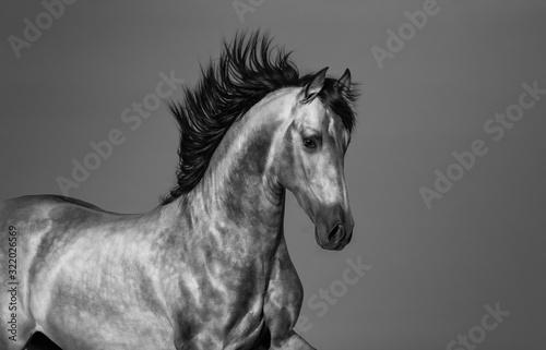 Fototapeta Black and white Andalusian horse in motion. obraz