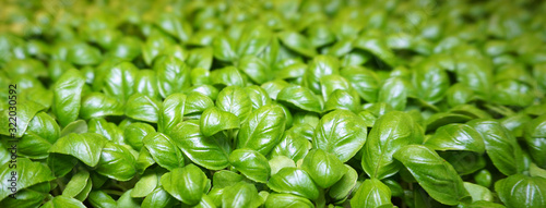 Fototapeta Small youngplants, cuttings from basil out of a Dutch greenhouse horticulture obraz