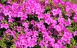 canvas print picture - Pink azalea.