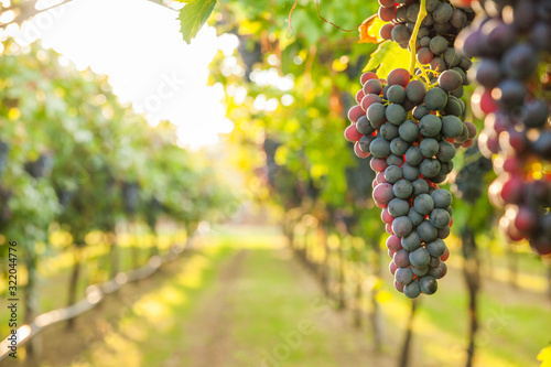 grape harvest Italy Fotobehang