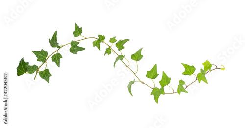 Billede på lærred green ivy isolated on a white background.