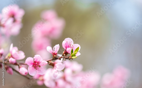 Tela Pink blossoming cherry tree with bokeh lights