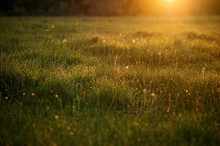 Drops Of Fresh Morning Dew On The Grass Glisten In The Rays Of The Dawn Sun. Natural Texture.