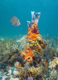 Caribbean sea colorful marine life underwater in a coral reef composed by sponges and brittle stars