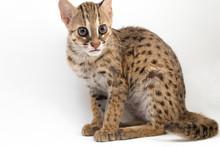 The Asian Leopard Cat Or Sunda...