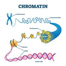 Chromation Biological Diagram Vector Illustration
