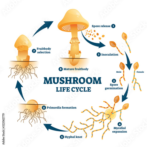 Canvas Print Mushroom anatomy life cycle stages diagram