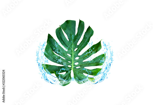 Photo Green leaf water spreading Window-leaf Monstera obliqua Plum Blossom (Miq