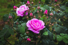 Bush Of Pink Roses With Drops Of Rain Or Dew On Leaves_