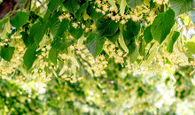 Linden Blossom. Linden Branches With Flowers In Sunny Weather_