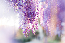 Wisteria Flowers Are Blooming ...