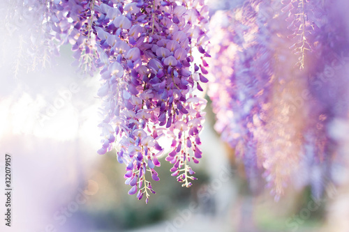 Obraz Wisteria flowers are blooming in sunset garden. Beautiful wisteria trellis blossom in spring. Chinese and Japanese park. - fototapety do salonu