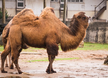 Bactrian Camels In Blackpool Zoo That Are Also Hairy Camel In A Pen With Long Fur Winter Coat To Keep Them Warm With Two Humps And Tails In Captivity England For Entertainment And Non Profit Animal
