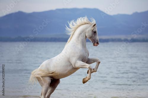 Fototapeta White Arabian horse standing on back legs on beach with lake on background  obraz