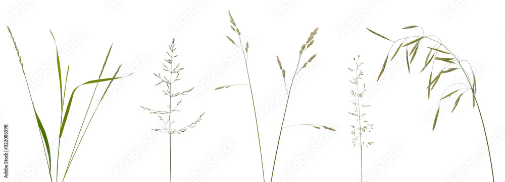 Fototapeta Few stalks, leaves and inflorescences of meadow grass at various angles on white background