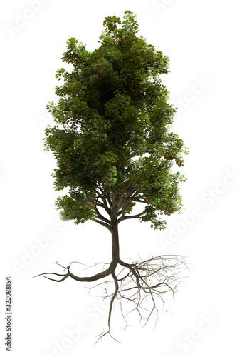 Fototapeta beautiful leafy tree with roots (isolated on a white background) obraz na płótnie