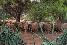 A Flock Of Sheep Shelters In T...