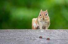 Inquisitive Chipmunk On Fence,...