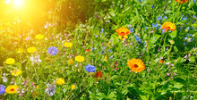 Wild Flowers And Sun. Wide Pho...