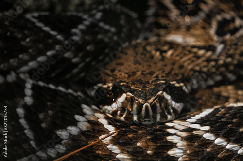 Photo A coiled up common death adder in Australia