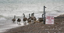 Family Of Geese Coming Ashore