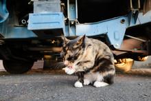 Tortoiseshell Cat Eat Food