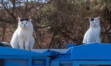 Two White Stray Kitties Are Si...