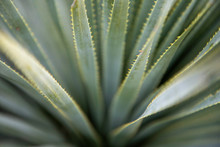 Close Up Of Sotol Plant