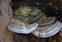 Bracket Fungus On Bark. Green, Cream And Brown Textured Stripes