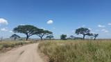 Fototapeta Sawanna - pusta szutrowa droga pośrdód traw i drzew na afrykańskiej sawannie