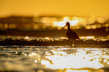 Silhouetted Willet At Sunrise