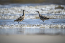 Long Billed Curlews On The Coast