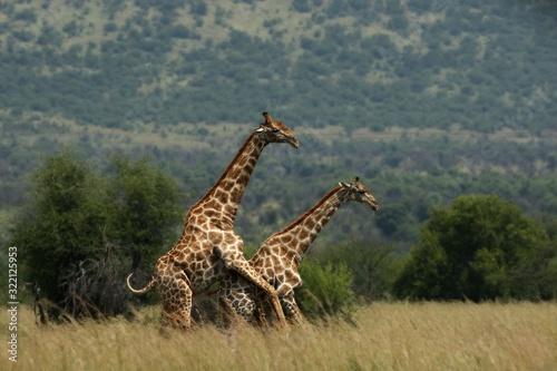 Fototapety, obrazy: A pair of African giraffe (Giraffa camelopardalis giraffa) coupling in the grassland.