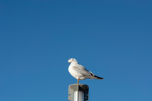 Seagull Rests On The Lamppost