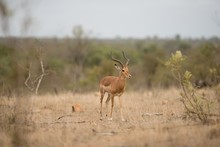 Cute White-tailed Deer Running In A Bush Field With A Blurred Background