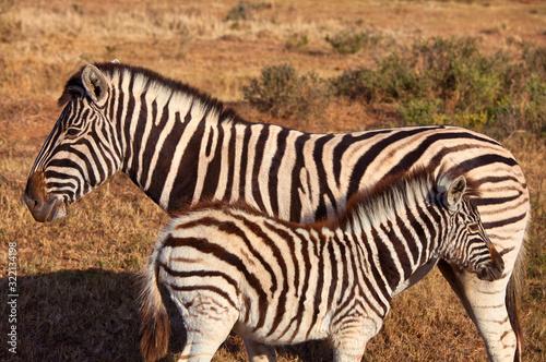 Photo zebra with kitten in africa