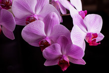 Bright Pink Orchids On A Black...