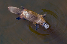 Burnie, Tasmania, Australia: March 2019: Platypus Sviming In The River.