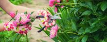 Gardener Pruning Flowers Peoni...