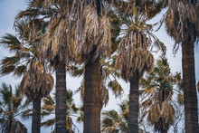 California Fan Palms At The Af...