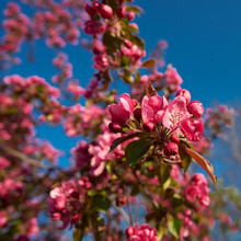 Red Blossoms On A Plum Tree In...