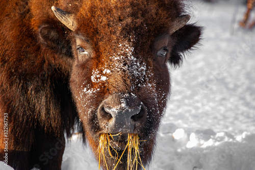 Photo American Bison in Winter